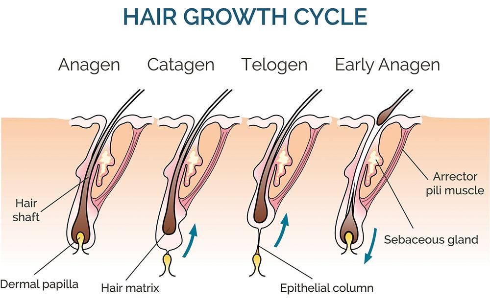 haj növekedési ciklusa